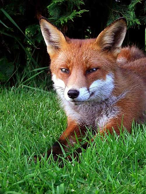 Clodagh Blake sent us this lovely photograph of a very friendly fox that has resided in the Kilnockin hinterland for many years and has luckily survived the many hunts to date in the area.
