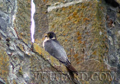 This Peregrine Falcon was photographed by Kevin Collins on top of the Holy Trinity Church last week.