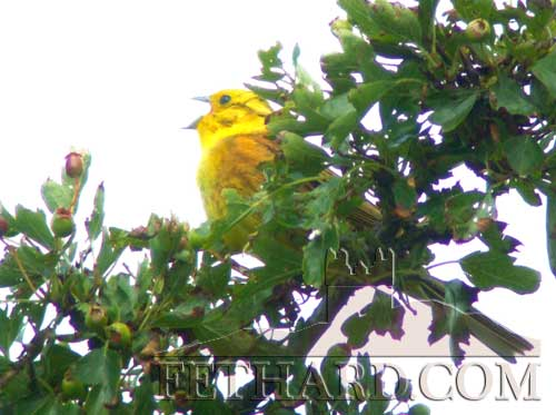 Male Yellowhammer photographed in full song near Lisronagh on Friday, June 24.