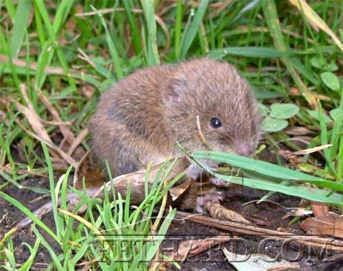 A photo of the bank vole. This is one of the two introduced small mammals now found in Tipperary. (Photo Paul Harrington)
