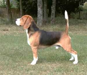Has anybody seen this young beagle in the Fethard area since Monday. The actual photograph is of the missing beagle's brother, but they both are pretty identical.