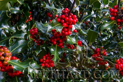Ireland has been basking in one of the warmest autumns for many years but that may be about to change if the tradition of holly trees signalling the arrival of a bitter winter is to be believed. The arrival of these beautiful bright red holly berries in Fethard may herald a harsh winter to come. So be prepared!